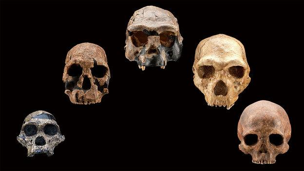 Five fossil human skulls over a 2.