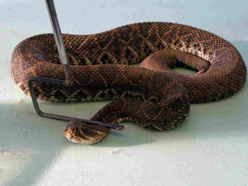Darnell uses a long-handled hook to pin down a snake prior to milking it.