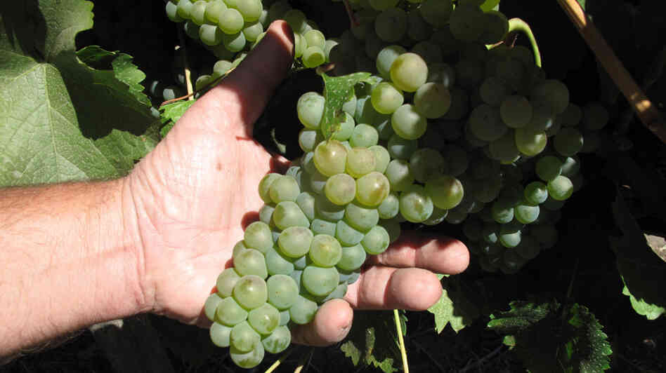 Grapes grown at Correa Albano vineyard in Santa Rosa, Chile.