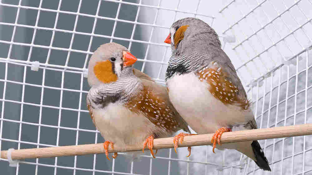 Zebra finches, like those in this cage, have complex songs that are learned throughout adolescence.