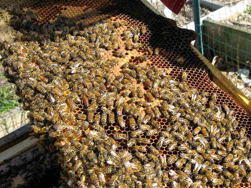 Honeybees work on their hive at East New York Farms community gardens in Brooklyn, N.Y.