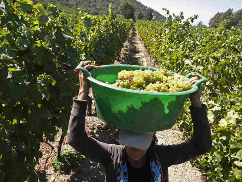 A vineyard worker carries grapes in Majadilla, Chile, on March 10.