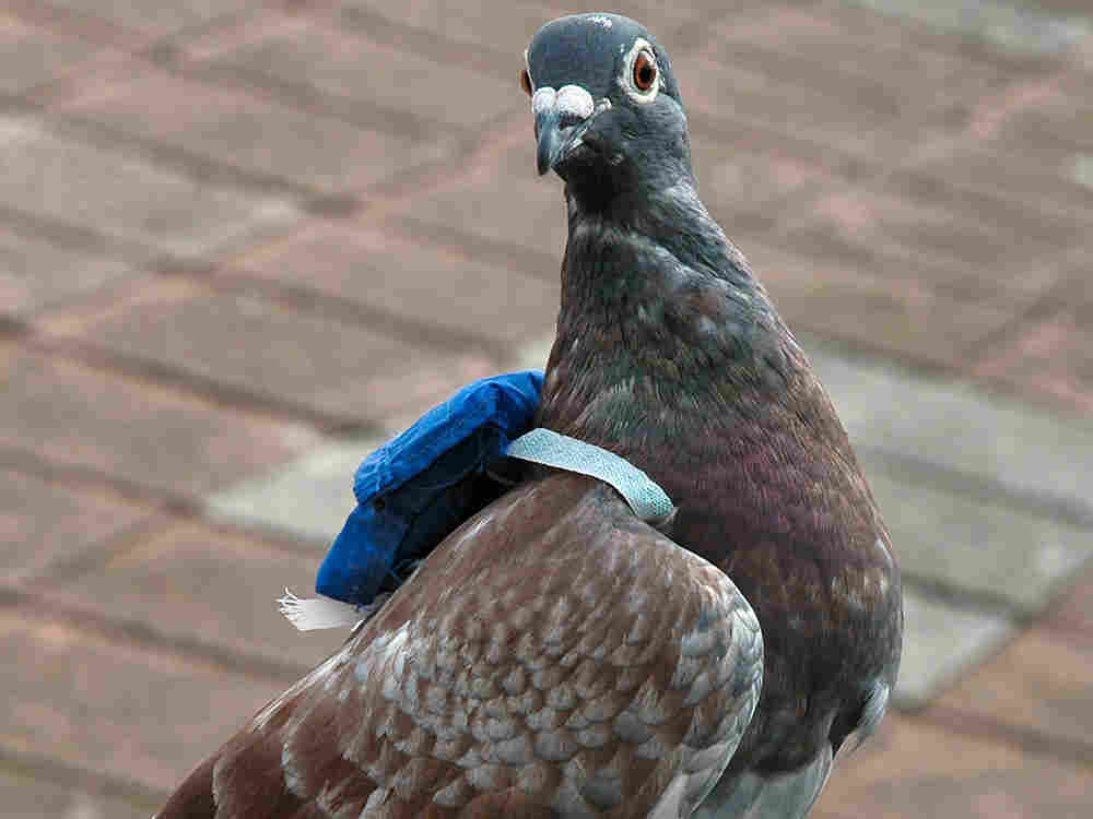 Scientists fitted homing pigeons with backpacks to study in-flight leadership in order to understand
