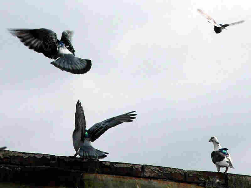 Pigeons take flight from a rooftop with their GPS backpacks.