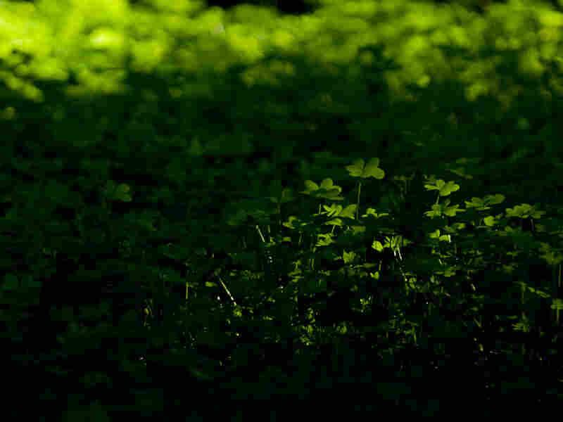 A field of clover
