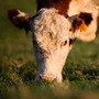 A cow munches on grass at a Berryville, Va., farm.