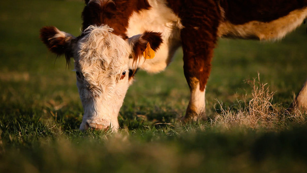 Grass-fed cows almost always have less total fat in their meat than corn-fed cows.