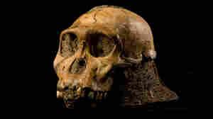 The cranium of the juvenile