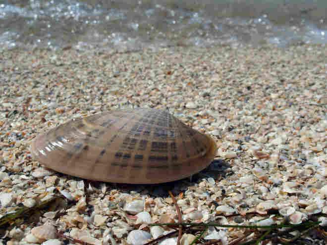 A clam. iStockphoto.com