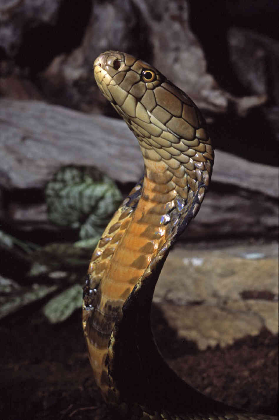 The king cobra. iStockphoto.com