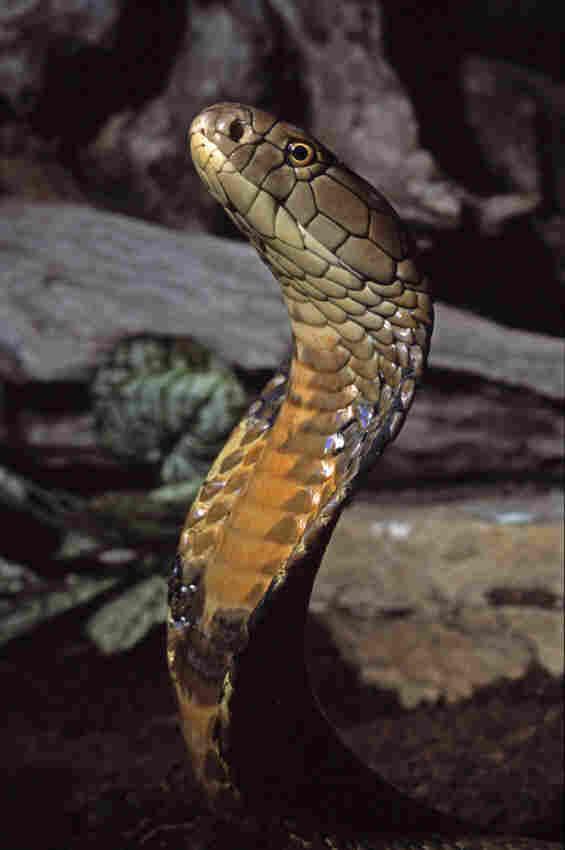 The king cobra. iStockphoto.com