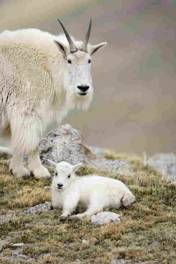 The North American mountain goat. iStockphoto.com