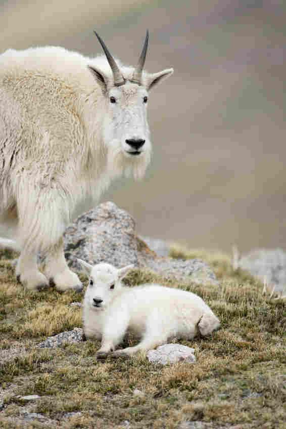 The North American mountain goat. iStockphoto.com