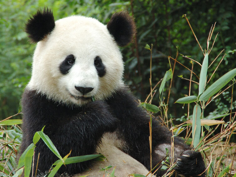 Why The Animal Critic Gives The Panda An F Npr
