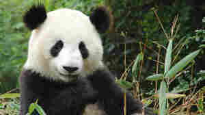 A panda. iStockphoto.com