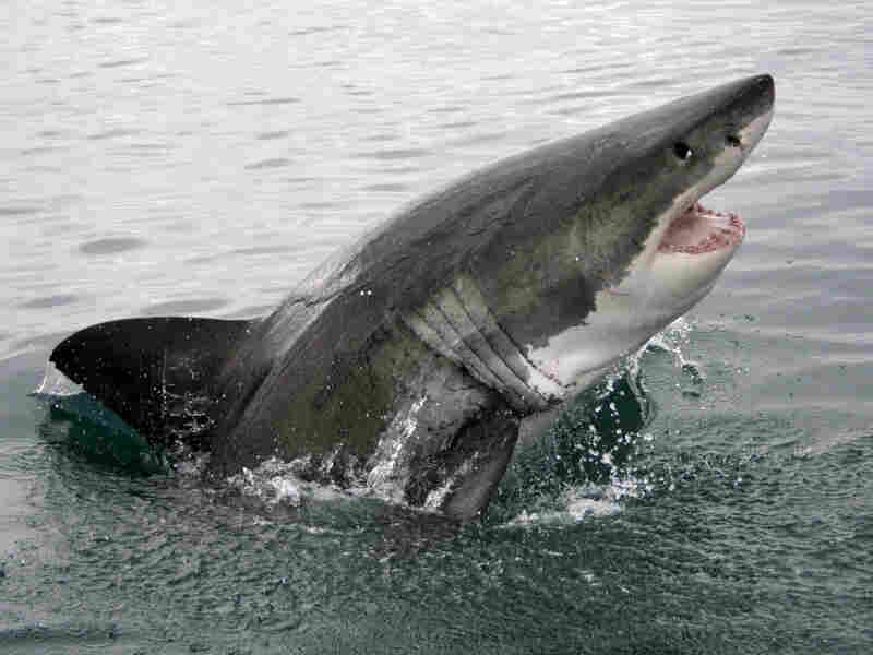 A great white shark. iStockphoto.com