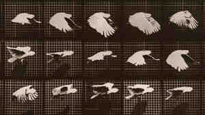 Eadweard Muybridge's 'Cockatoo; flying'
