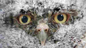'Bob' the baby screech owl that found a home in the Michot family's mango tree in Miami Shores, Fla.