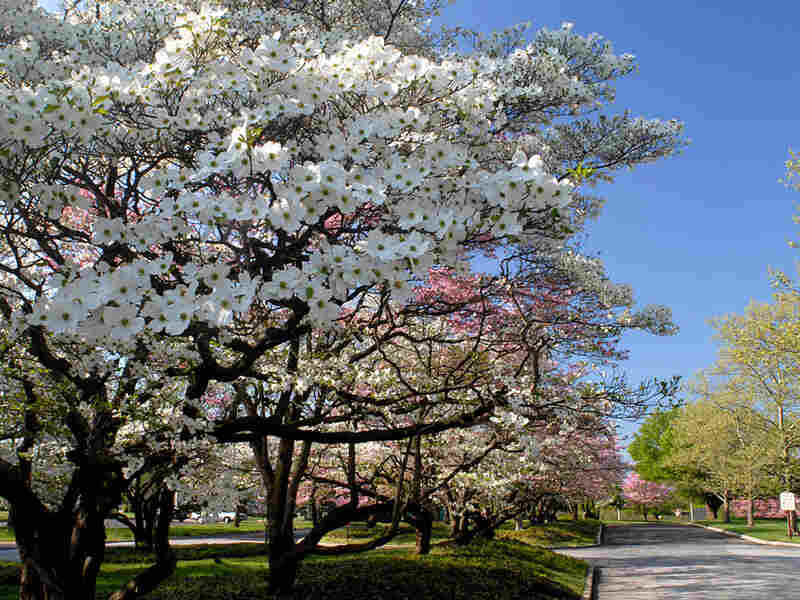 Flowering dogwood trees next to a road