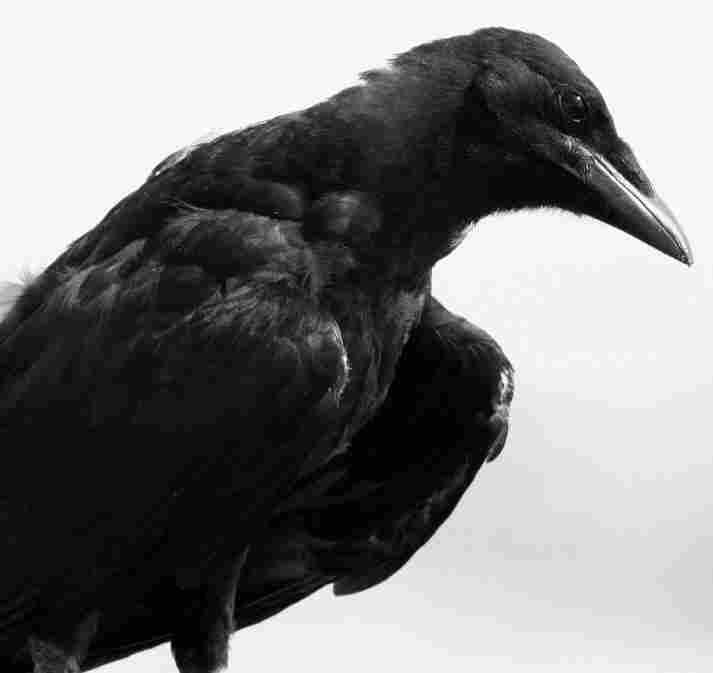 A crow. iStockphoto.com