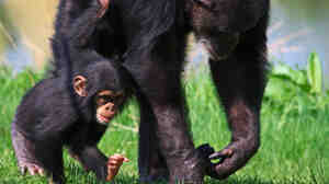Two chimps living in captivity walk together