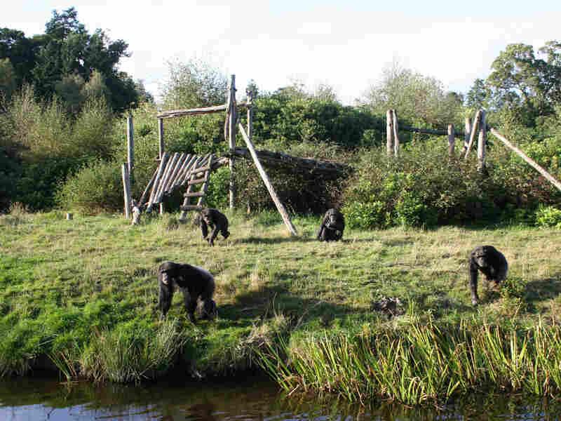 Chimpanzees romp in their home in the safari park.