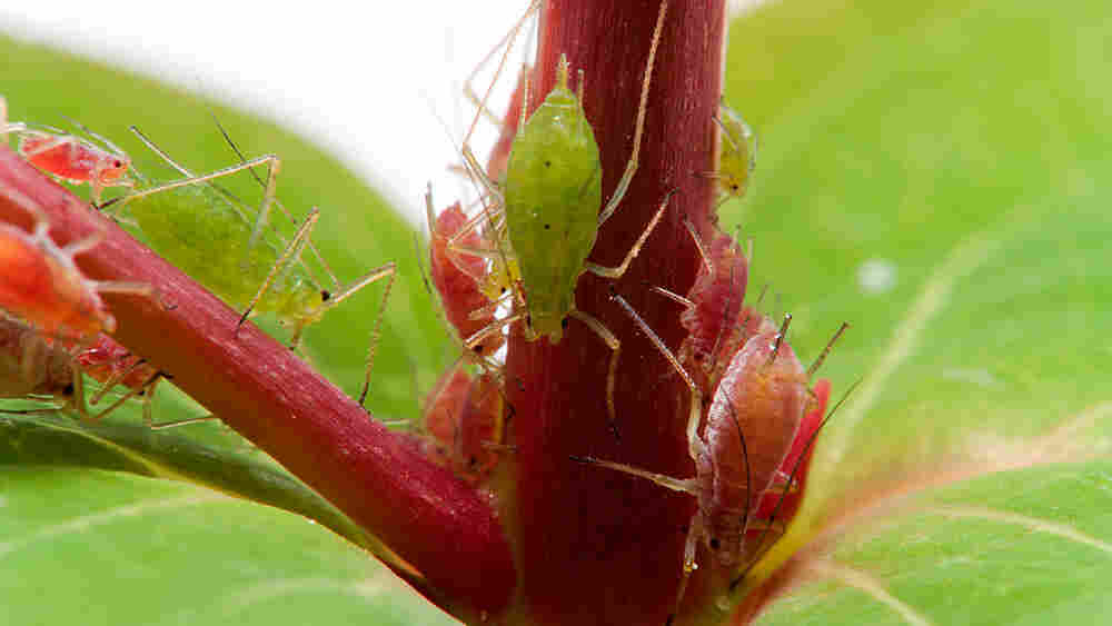 Red and green aphids climb on a plant.