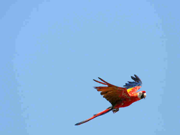 A macaw in flight. iStockphoto.com