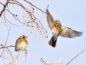 A pair of thrushes meeting at a branch