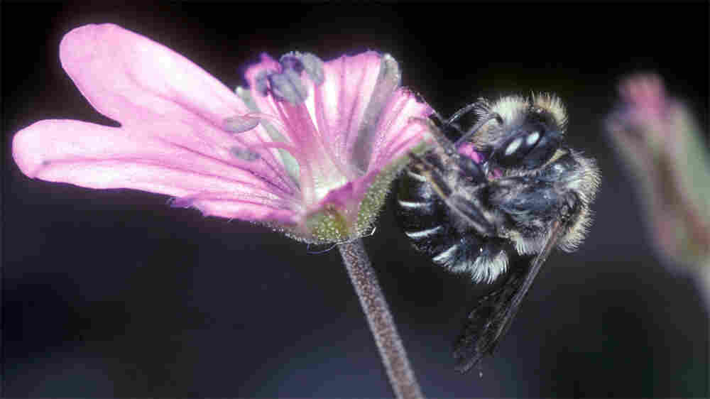 The bee chews off a flower petal with its mandibles.