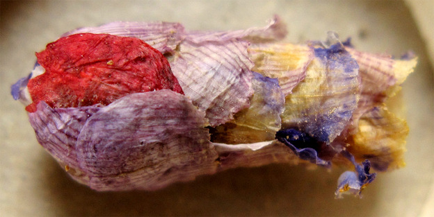 This nest of a rare bee is made of flower petals and holds a single egg.