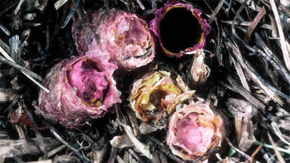 Multiple flower-lined nests of the O. avoseta bee are nestled in the ground.
