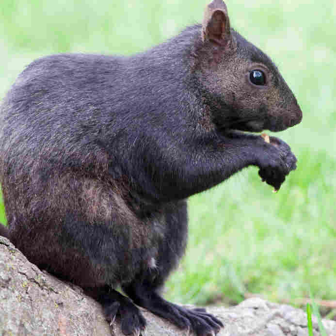 A black squirrel. iStockphoto.com