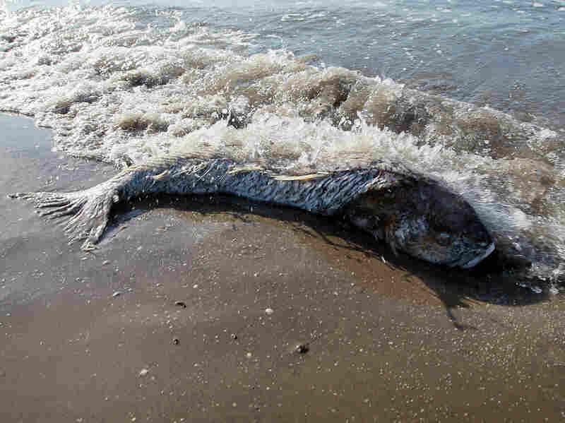 A dead fish in Lafourche Parish