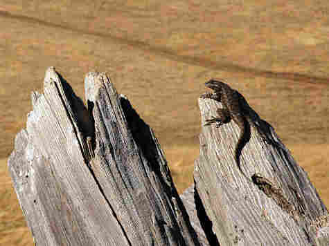 Sceloporus lizards, which come in various colors and sizes, face local extinctions in Mexico.