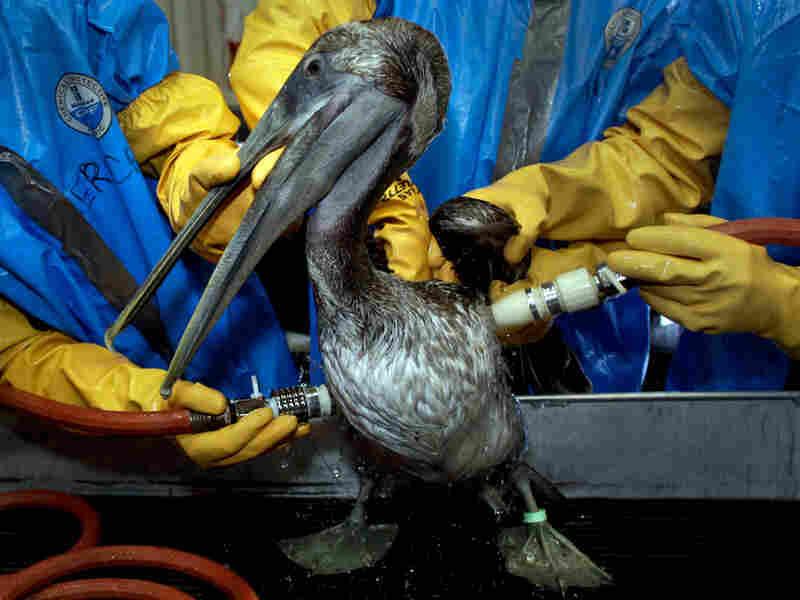 Rescuers clean a brown pelican. Charlie Riedel/AP