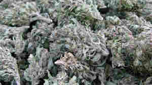 Marijuana buds being harvested in southeastern Mexico