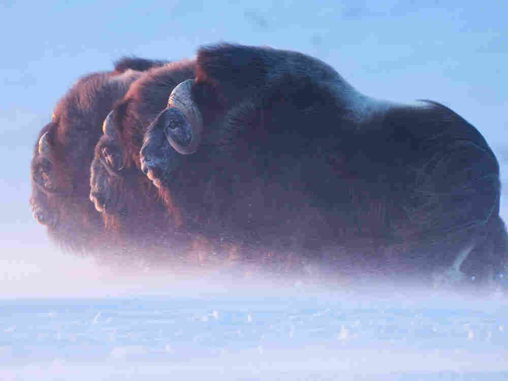 A group of muskoxen faces a blizzard in Alaska's western Arctic.
