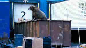 A grizzly bear forages for food in a dumpster