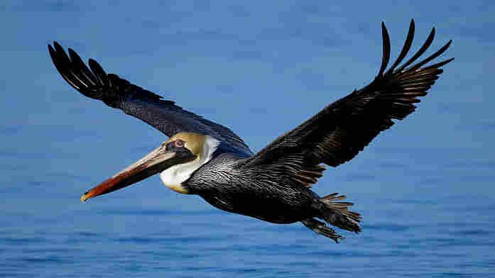 A brown pelican