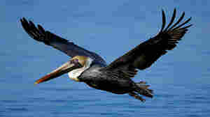 Oil Threatens Brown Pelican Off Of Louisiana Coast