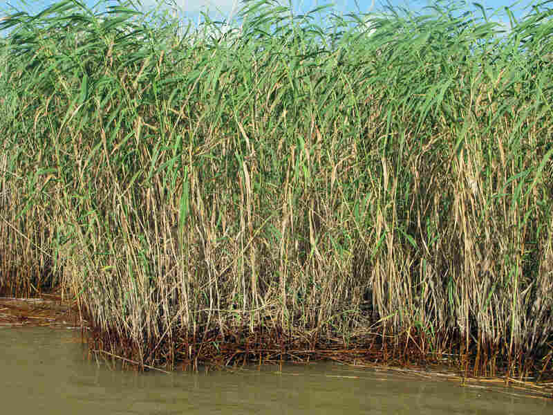 In an estuary in Pass a Loutre in Louisiana, the normally green reeds and marsh are brown and dead.