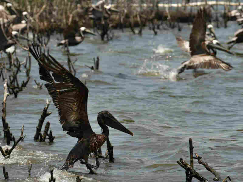 An oil-soaked pelican takes flight