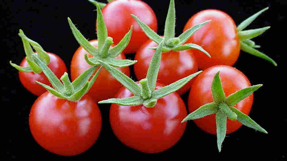 Red currant tomatoes, or Solanum pimpinellifolium, are intensely tomato flavored and very sweet.