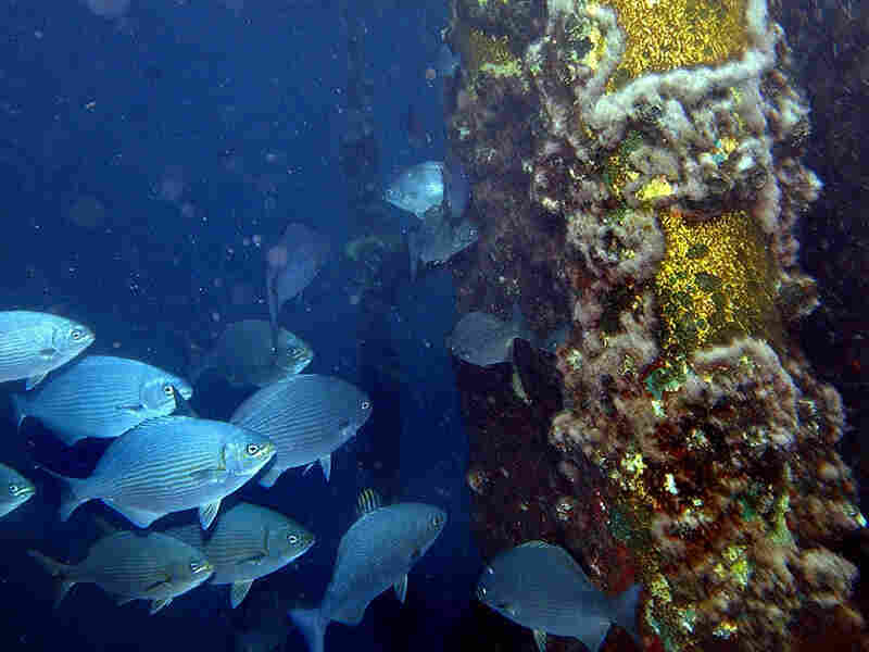 Fish take shelter from a current amid the metal supports of an offshore oil rig in the Gulf of Mexic