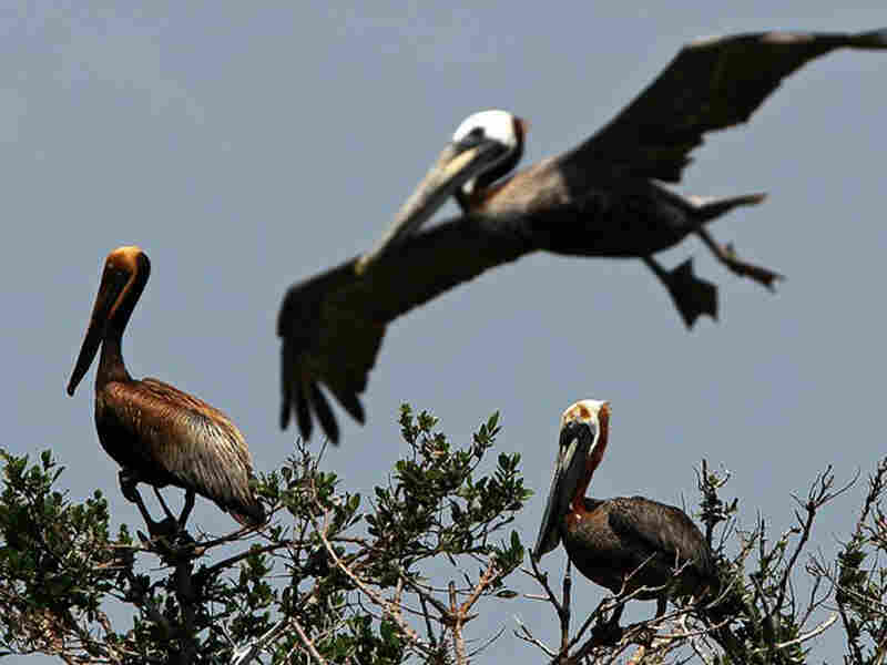 Brown pelicans stained with oil on Cat Island in Barataria Bay, La.