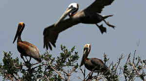 Brown pelicans stained with oil on Cat Island in Barataria Bay, Louisiana