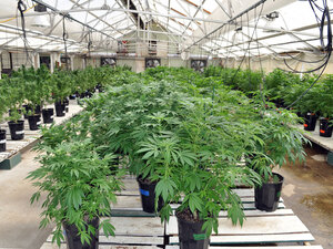 About 1,500 plants are growing at the Montana Cannabis greenhouse.
