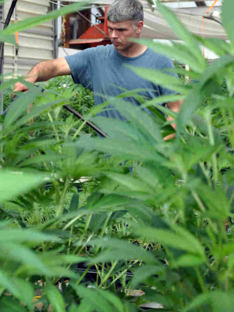 Chris Williams waters some of the plants at Montana Cannabis.