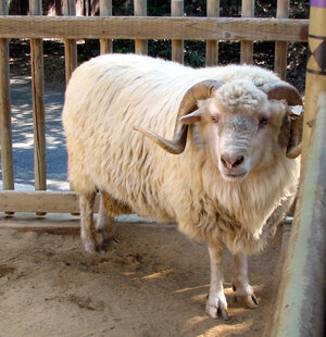 A Churro sheep. Wikimedia Commons